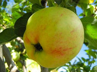 Яблоня Любава 2 летка