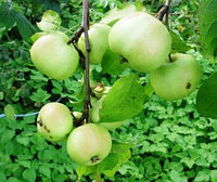 Яблоня  Чудное   естеств стланец