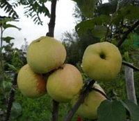 Яблоня  Соколовское   естеств стланец