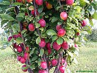 Яблоня Красный Викич  2летка коллоновид