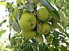 Яблоня Уралочка 2 летка