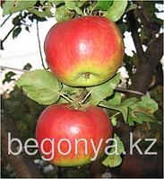 Яблоня Жигулевское 1 летка