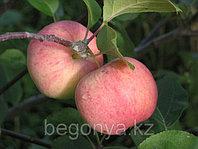 Яблоня Соковое 1 летка