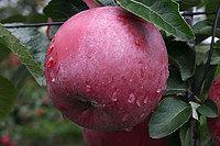Яблоня Спартан 1 летка