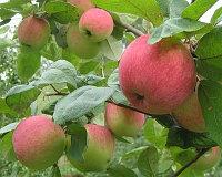 Яблоня  Услада 1 летка