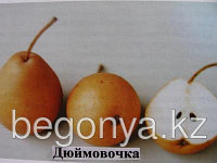 Груша Дюймовочка ЗКС