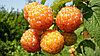 Малина крупноплод  Беглянка