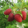Малина крупноплод Пересвет