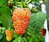 Малина ремонтантная крупная Оранжевое чудо