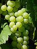 Виноград Тамбовский белый