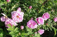 Декор Роза Канина