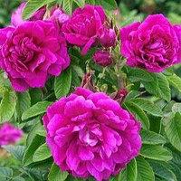 Декор Роза  Ханса