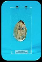Влажный препарат «Внутреннее строение моллюска»                арт. Ed17652