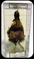 Влажный препарат «Внутреннее строение птицы»                арт. Ed17653