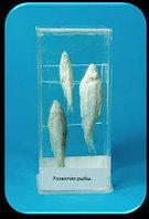 Влажный препарат «Развитие рыбы»                арт. Ed17656