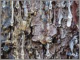 Кедровая живица 100гр, фото 2