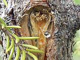 Кедровая живица 100гр, фото 5