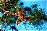 Живица кедровая 10% на льняном масле, 100мл, фото 4