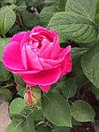 Памятка по розам