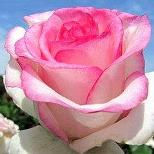 Корни роз