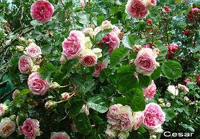 """Корни роз сорт """"Цезарь"""", фото 2"""
