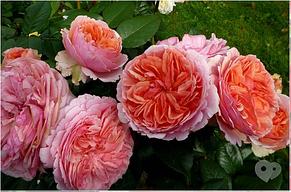 """Корни роз сорт """"Чиппендейл"""", фото 2"""