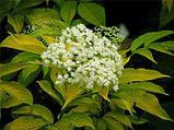 Бузина цветы 20гр, фото 3
