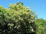 Бузина цветы 20гр, фото 4