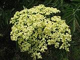 Бузина цветы 20гр, фото 5