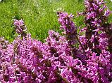 Буквица трава 50 гр., фото 4