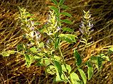Солодка уральская, корень 50гр, фото 2