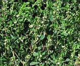 Спорыш, трава горца птичьего 50гр, фото 3