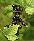 Смородина черная, лист 30гр, фото 2