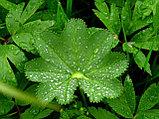 Манжетка трава 25гр, фото 4