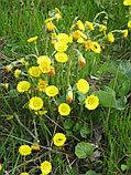 Мать-и-мачеха,листья мать-и-мачехи обыкновенной 50гр, фото 4