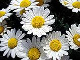 Ромашка аптечная, цветы, 25гр, фото 2