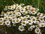 Ромашка аптечная, цветы, 25гр, фото 4
