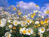 Ромашка аптечная, цветы, 25гр, фото 5