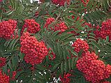 Рябина красная, плоды 100 гр, фото 2