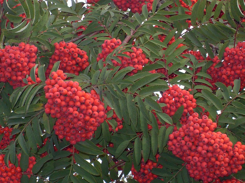 Рябина красная, плоды 100 гр - фото 2