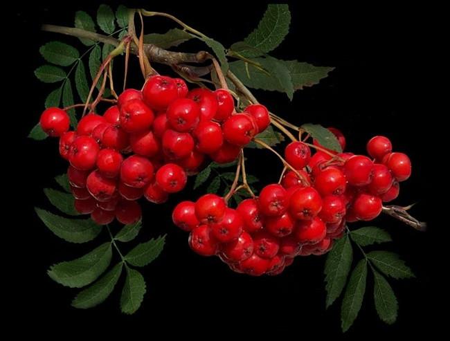 Рябина красная, плоды 100 гр - фото 3