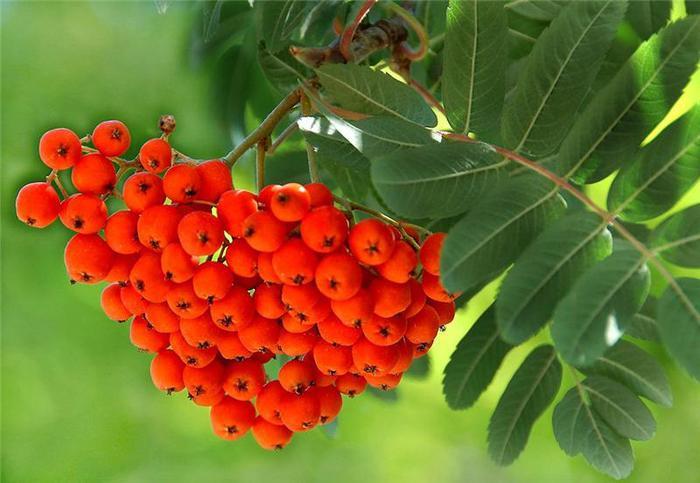 Рябина красная, плоды 100 гр - фото 5