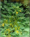 Сенна лист 50гр, фото 5