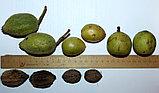 Черный орех плоды 20гр, фото 5