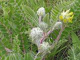 Астрагал, шерстистоцветковый, трава 25гр, фото 5