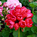 Red Pandora / тюльпановидная/ подрощенное растение, фото 2