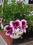 Michael / подрощенное растение, фото 2