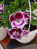 Swedish Angel/ подрощенное растение, фото 2