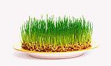 Овёс Голозерный для проращивания (зерно), 200 гр, фото 5