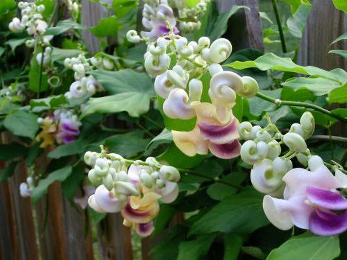 Экзотическая лиана — вигна каракалла